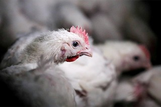 US poultry industry to urge retaliation if South Africa ends quota