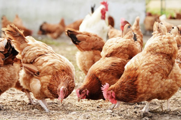 SA farmers play 'chicken' with US tariffs