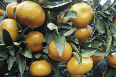 After record season, United States opens new ports to South African citrus exports